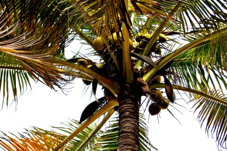 coconuts palm