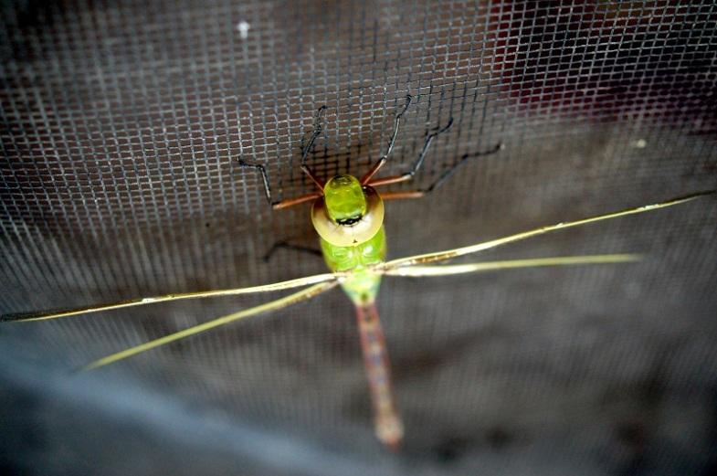 Incoming dragon fly