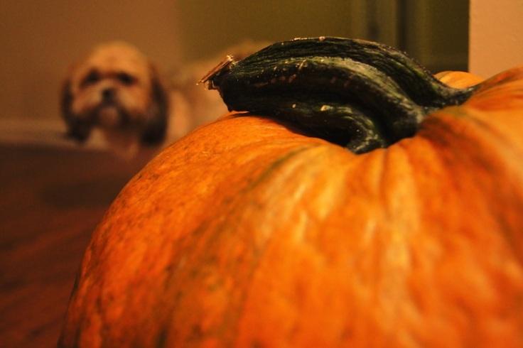 fuzzy puppy pumpkin