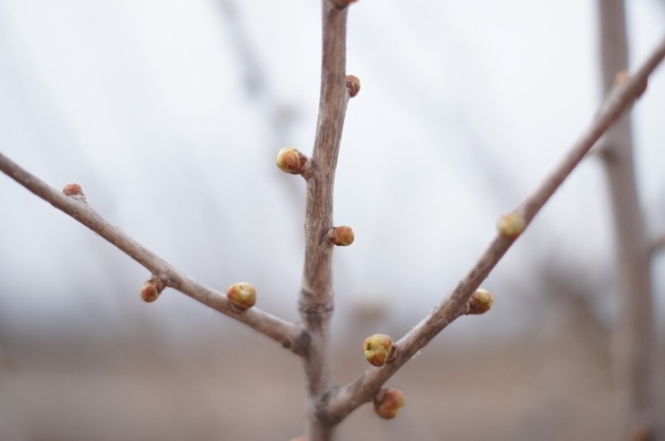 tree buds 1 offshoots12.com