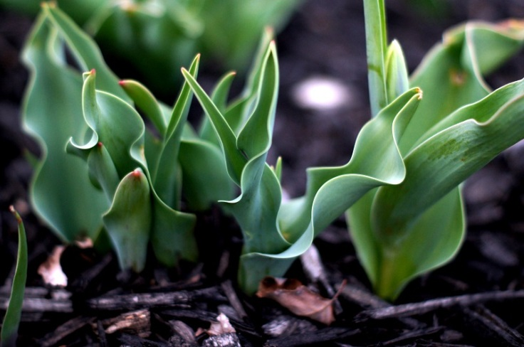 tulip bud 1 offshoots12.com