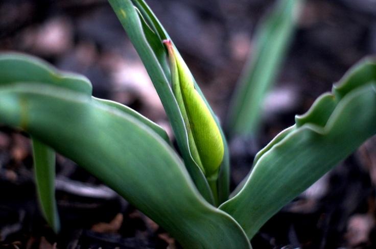 tulip bud 2 offshoots12.com