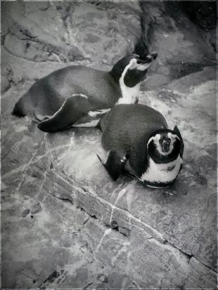 Penguins1 MM http://offshoots12.com
